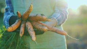 Bonden i handskar rymmer en stor grupp av morötter Begrepp för organiskt lantbruk royaltyfri fotografi