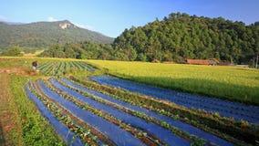 Bonden på grönsaken och ris brukar i Chiang Mai Royaltyfri Fotografi