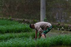 Bonden planterar ris i lantliga Kina Royaltyfri Bild