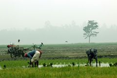 Bonden planterar risfältskyldighet in Royaltyfria Bilder
