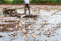 Bonden plogas med en traktor i hans lantgård och fåglarna ar royaltyfri bild