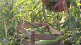 Bonden sätter havremajskolven i träask på havrefältet av den organiska ecolantgården lager videofilmer