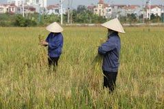 Bonden skördar risväxten Arkivbild