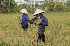 Bonden skördar risväxten Arkivfoton