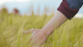 Bonden som går i fält, räcker rörande torrt vete, skördsäsongen, agro affär stock video