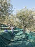 Bonden utför den malande operationen av oliven på bruket royaltyfri foto