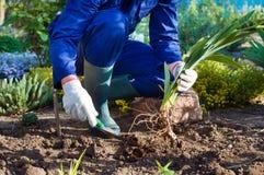 Bondes händer som planterar en iris genom att använda skyffeln Arkivbild