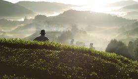 BondeTea Plantation Malaysia åkerbrukt lantligt begrepp arkivfoton
