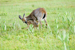 Bonding. Doe and young fawn in meadow royalty free stock photo