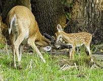 Bonding Doe and Fawn. Doe cleaning her fawn in the early morning and fawn cleaning mom Royalty Free Stock Photos