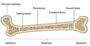 Bone Anatomy Labeled Diagram Royalty Free Stock Image