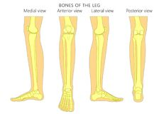 Bone fracture_Leg anatomy bones stock illustration