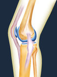 Bone knee. Joint of men created by computer illustration Royalty Free Stock Photos