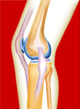 Bone knee. Joint of men created by computer illustration in red background Stock Photos