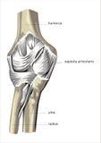 Bone of leg Royalty Free Stock Photo