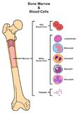Bone Marrow & Blood Cells. Infographic diagram including femur reproduction of red white blood cells platelets lymphocyte monocyte esinophill basophill Stock Images