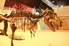 Bone of predator Royalty Free Stock Image