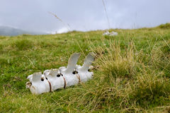 Bone remnants lying in the grass Stock Image