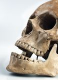 Bone, Skull, Jaw, Skeleton Royalty Free Stock Photos