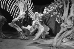 Bone Story Stock Images