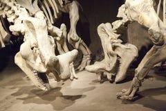 Bone Story Royalty Free Stock Photos