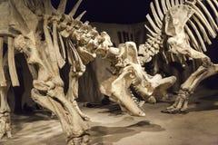 Bone Story Royalty Free Stock Images