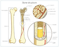 Bone structure medical educational vector Royalty Free Stock Photos