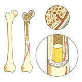 Bone structure medical educational vector Stock Image