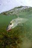 bonefish πετάξτε Στοκ Εικόνες