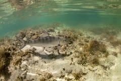 bonefish подводный стоковое изображение rf