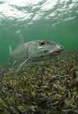 Bonefish Στοκ φωτογραφία με δικαίωμα ελεύθερης χρήσης