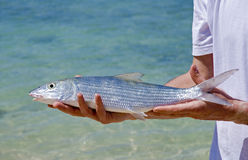 Bonefish Photo stock