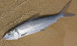 Bonefish Royalty Free Stock Photography