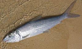 Bonefish Fotografía de archivo libre de regalías