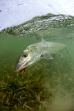 Bonefish on a fly stock images