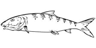 Bonefish Illustration Royalty Free Stock Images