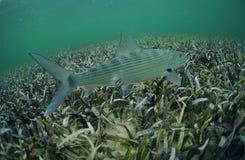 Bonefish in ocean Stock Images