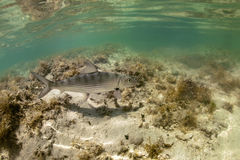 bonefish underwater Obraz Royalty Free