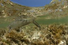 Bonefish Underwater Detail Shot Royalty Free Stock Photos