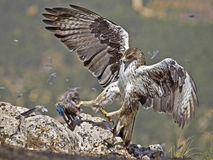 Bonelli eagle. This female Bonelli eagle is wild, after months of work and study of the species was able to photograph this magnificent raptor registered in the Royalty Free Stock Images