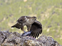 Bonelli eagle Stock Photos