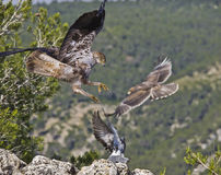 Bonelli eagle Stock Photography