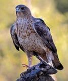 Bonelli-` s Adler mit einer Taube Stockbilder