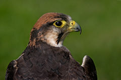 Bonelli's Eagle. Native to Southern Europe Royalty Free Stock Photos