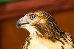 Bonelli's Eagle (Aquila Fasciata) Royalty Free Stock Photography