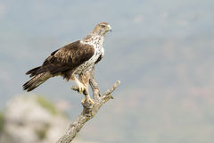 Bonelli's Eagle (Aquila fasciata) Stock Photos