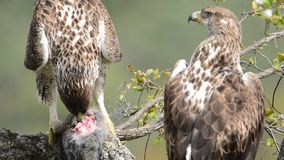 Bonelli's eagle couple on tree branch eating a rabbit stock video footage