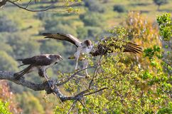 Bonelli's eagle couple on tree branch Stock Images