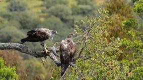 Bonelli's eagle couple stock video