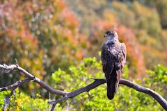 Bonelli's Eagle on tree branch Stock Image
